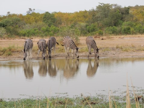 zebra at the watering hole