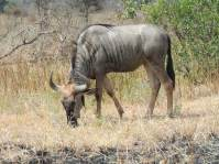 Wildebeest with a bad hairdo