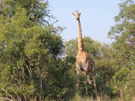 Very skinny giraffe
