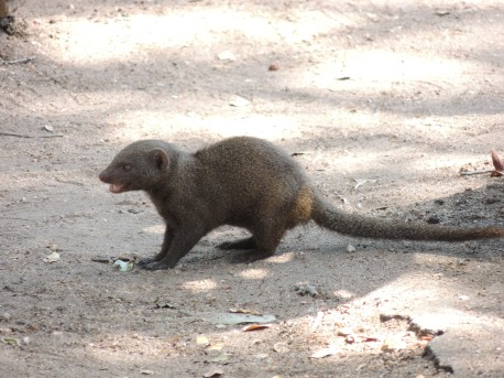 mongoose