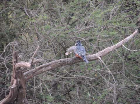 giant king fisher with catch