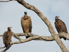 creepy vultures