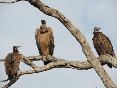 creepy vultures