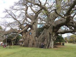 The Sunland Baobab