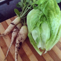 Veggie patch pickings - radish and lettuce