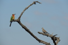 Little Bee eater and a female namaqua dove