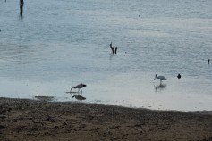 Sacred Ibis and Spoonbill