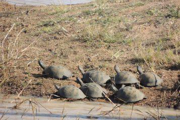 Sunbathing turtles