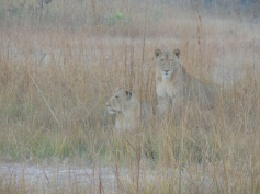 Lion at Kafue River Lodge