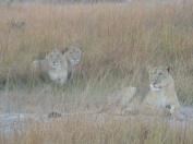 Lion at Kafue River Lodge