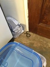 Olive Marsh Snake